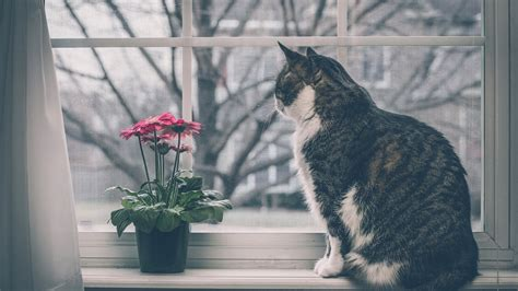 fensterbrett katze hd hintergrundbilder fensterbank fenster blumen katze