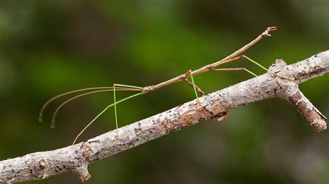 paper walking stick dolls missoula insectarium