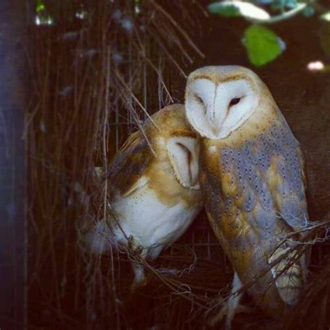 owl lovers barn owl love owls pinterest
