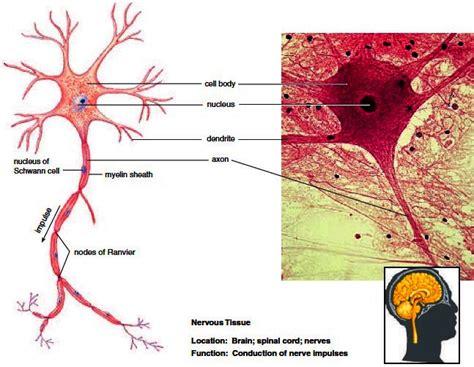 nervous tissue labeled diagram nervous tissue nervous tissue characteristics nervous