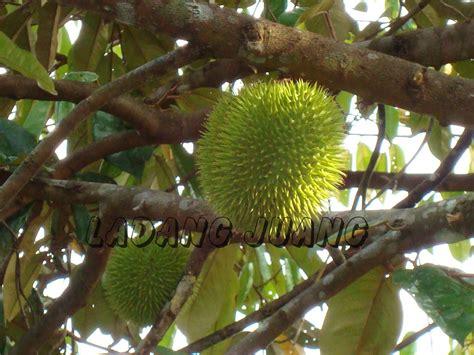 ladang juang pokok durian