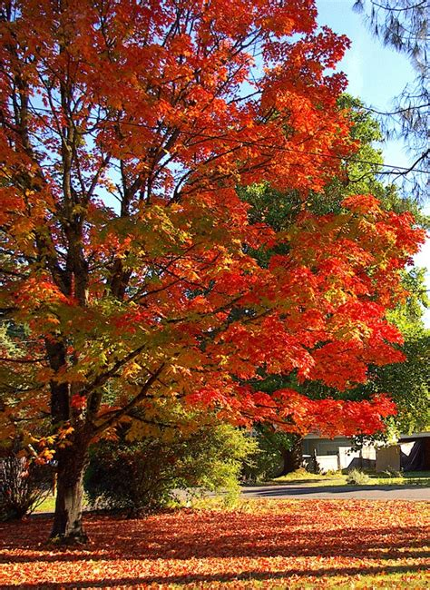 sugar maples are another good fall tree trees pinterest