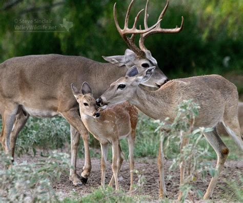 and bucks fawn and doe and buck www pixshark images