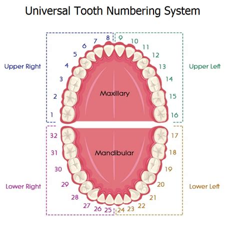 diagram of the tooth numbering system tooth numbering systems in dentistry news dentagama