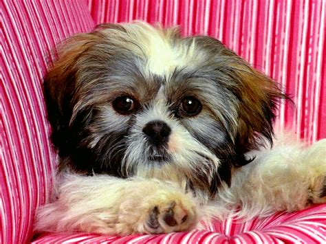 shih tzu gif pin by krisztina sallai on dogs ツ ღ