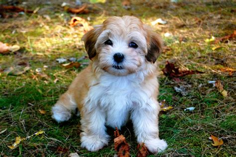 traits of havanese dogs havanese puppies and havanese dogs characteristics