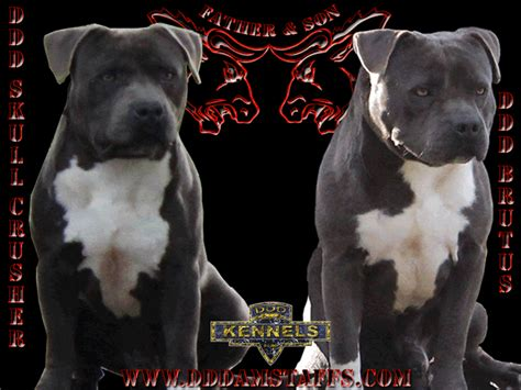 ddd  staffs     american staffordshire terries