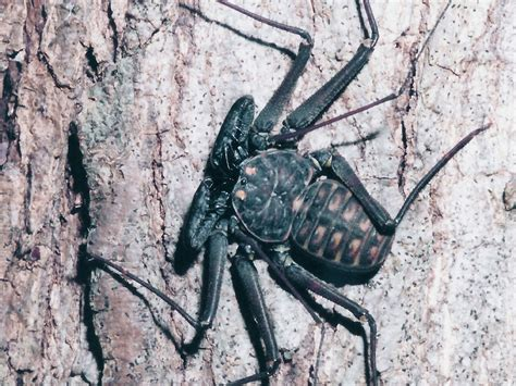 tailless whip scorpion bugs insects pinterest google