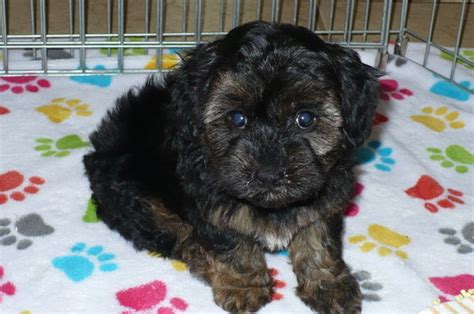 maltese puppies for sale in az view ad maltese poodle mix puppy for sale arizona tucson usa