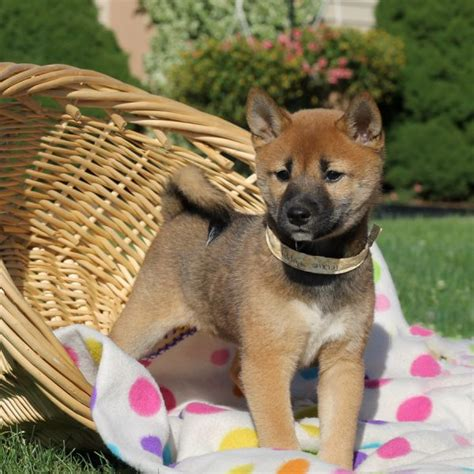 shiba yorkie mix puppies for sale in ohio greenfield puppies