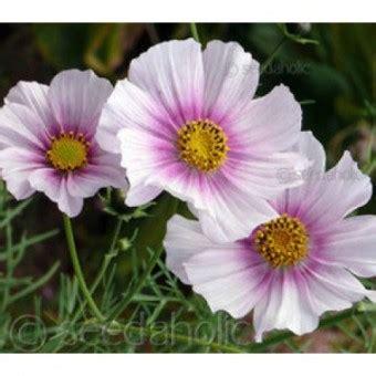 bibit bunga cosmos daydream