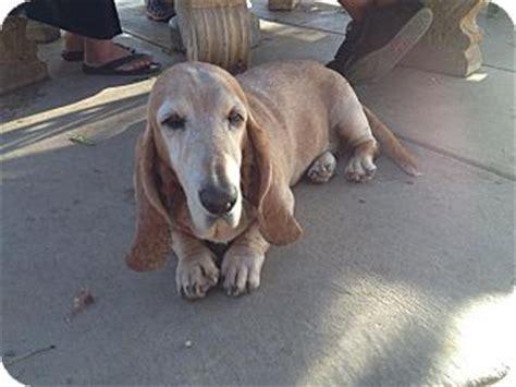 golden retriever basset hound mix traveller adopted acton ca basset hound golden retriever mix