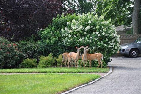 Deer Repellent For Gardens by 10 Best Deer Repellents To Keep Deer Out Of The Garden