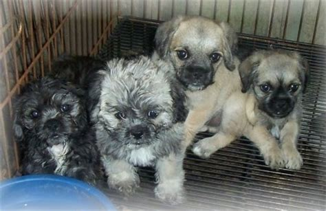 pug poodles pugapoo breed information and pictures
