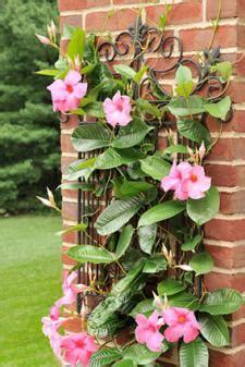 Garden Trellis Images Mandevilla Plants Lovetoknow
