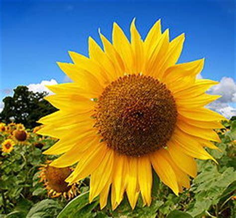 Bunga Matahari Sunflower Maximilian sunflower creationwiki the encyclopedia of creation science