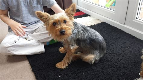 family yorkies friendly family terrier dawlish pets4homes