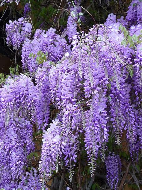 wisteria flower wisteria sinensis purple wisteria vine 1 plant ebay