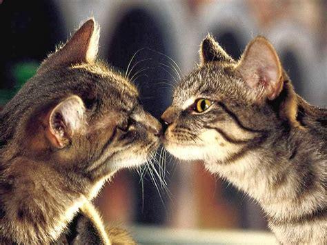 wallpaper of cute cat couple cute cat couple in love hd wallpaper best wallpapers cats