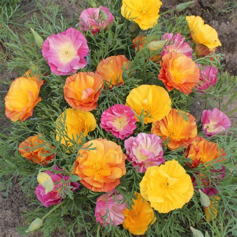 Ch Flower Jelly Mate seeds flower seeds a leading supplier of vegetable seeds and flower seeds kingsseeds