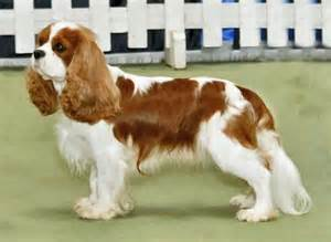blenheim color cavalier king charles spaniel 187 information pictures more