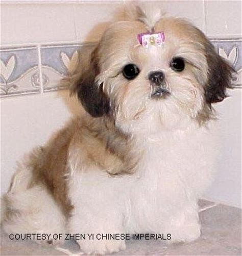 imperial puppies 25 best ideas about imperial on shih tzu baby shih tzu and