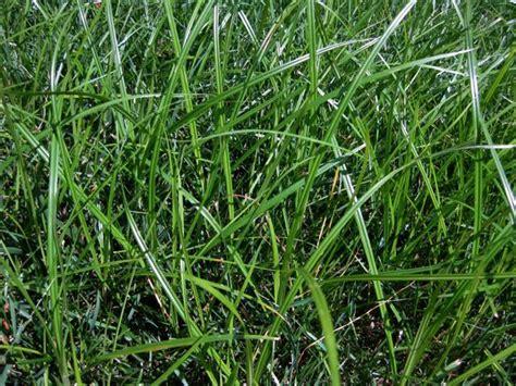 killing grass killing grass
