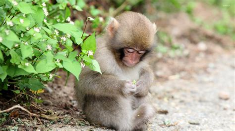 monkey wallpaper for walls monkey 2 wallpaper animal wallpapers 18088