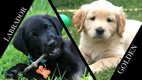 compare golden retriever and labrador retriever labrador retriever vs golden retriever barkblaster