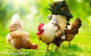 what should chickens eat to keep healthy and happy