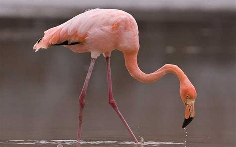 imagenes animal flamenco 61 best images about aves on pinterest poultry animals