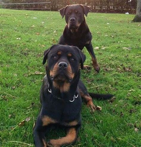 wanted rottweiler wanted rottweiler birkenhead merseyside pets4homes