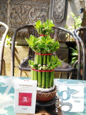 Bibit Bambu Rejeki putra garden tanaman hias bambu rejeki mini unik
