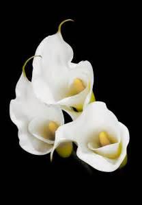 calla lily madison indiana photography