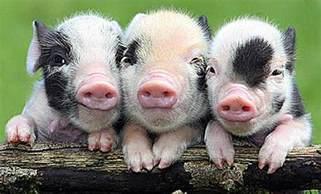 3 pigs baby animal zoo