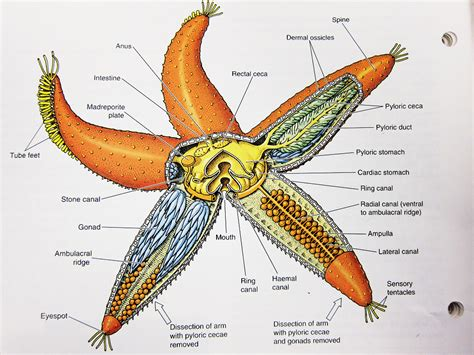 starfish diagram basic concept of invertebrate zoology knowledge water