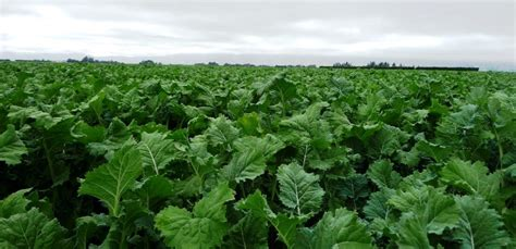 free rape section forage kale guide tuckers seeds