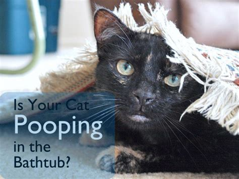 cat pooping in bathtub is your cat pooping in the bathtub or shower pethelpful