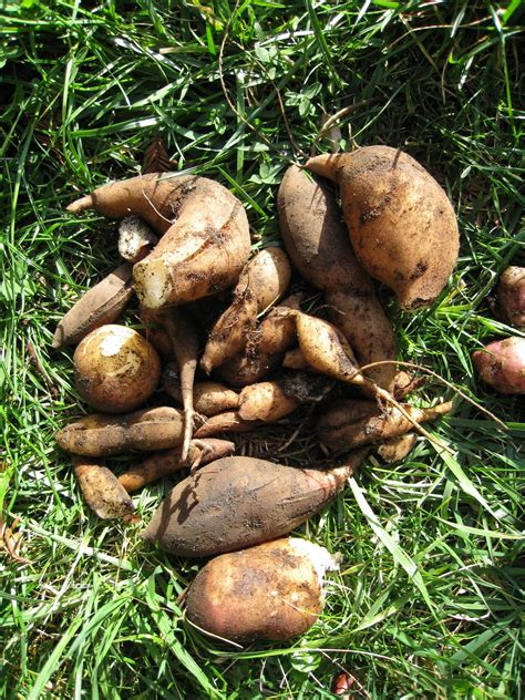 yacon root vegetable file yacon tubers jpg wikimedia commons