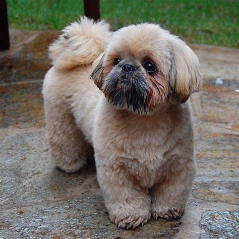shih tzu ewok haircuts 16 best shih tzu hair cuts images on pinterest hair