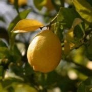 potare limoni in vaso potare il limone frutteto come potare limone