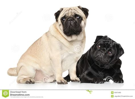 brown and white pug pugs black and brown stock image image of pugs portrait 50873485