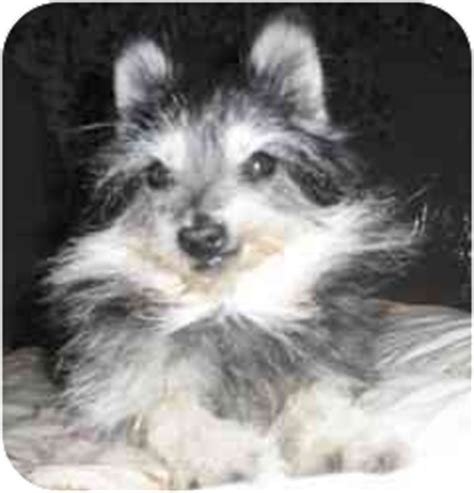 pomeranian schnauzer mix princess adopted warren mi pomeranian schnauzer miniature mix