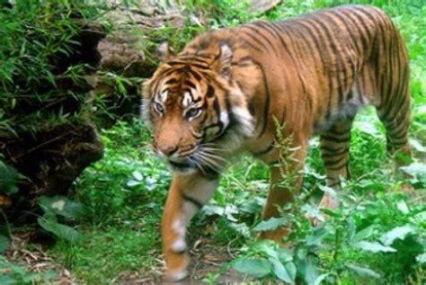 Harimaun Sumatera harimau sumatra lahirkan tiga ekor anak republika