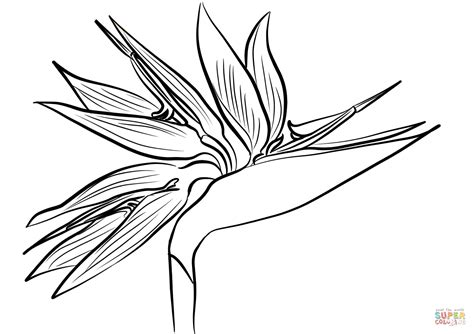 coloring pages bird of paradise birds of paradise bird of paradise coloring pages bird