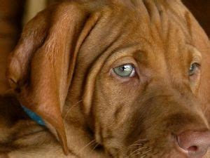 vizsla puppies for sale california best dogs for sale and vizsla on