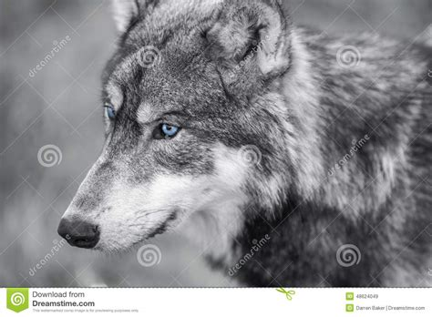 5 11 Black Wolf Blue 16010 american gray wolf with blue stock image
