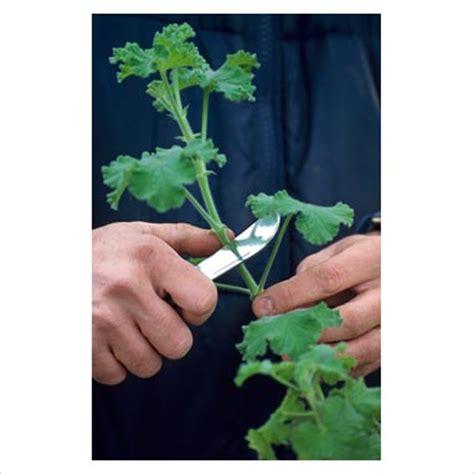 how to take geranium cuttings the garden of eaden