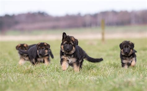 where to get a german shepherd puppy german shepherd puppies dogtime