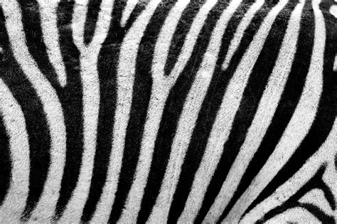 zebra pattern texture zebra texture free stock photo public domain pictures
